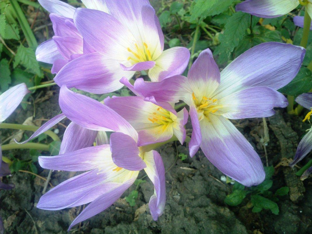цветы безвременника - Serg