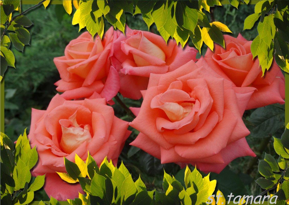 Осенние розы... - Тамара (st.tamara)