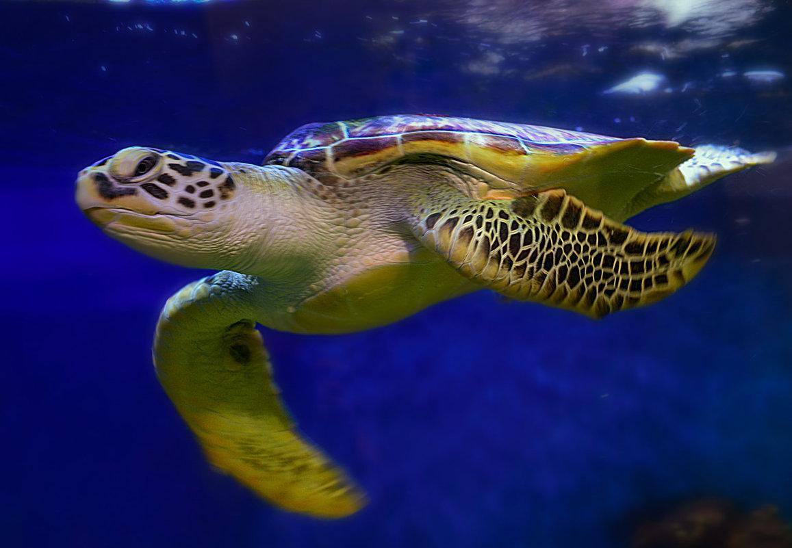 морская черепаха - alex graf
