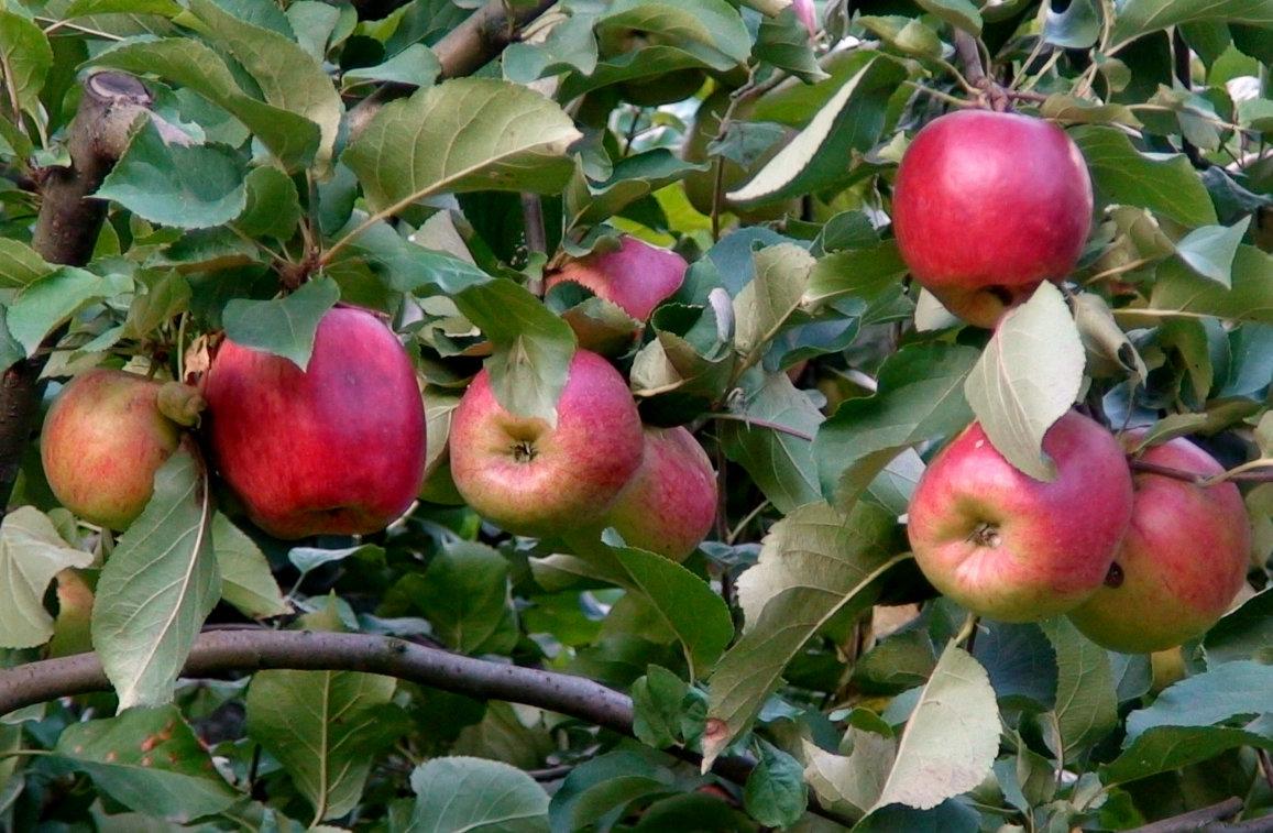 яблоки - elena manas