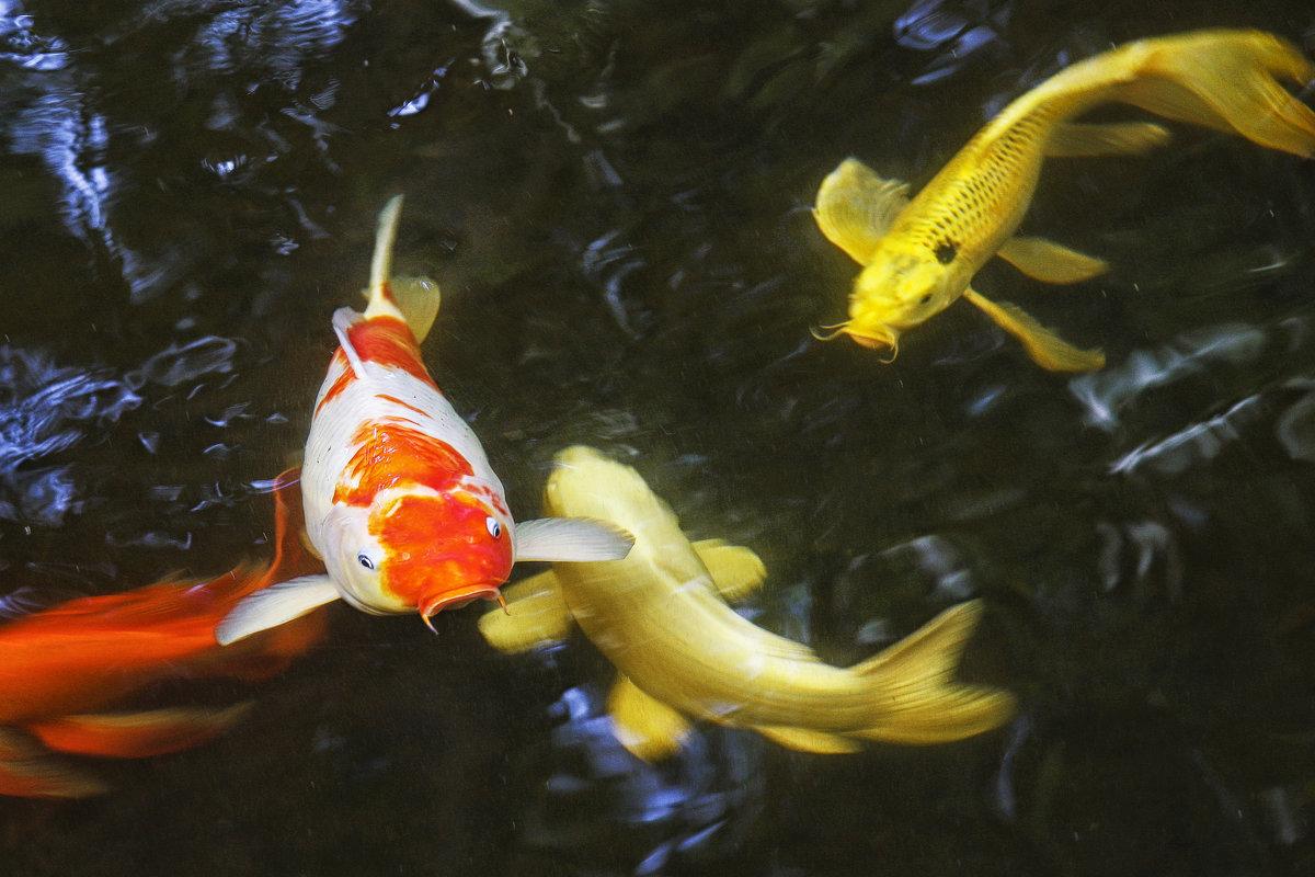 Рыбка золотая, подари мне... Тайские зарисовки. - Сергей Калиновский