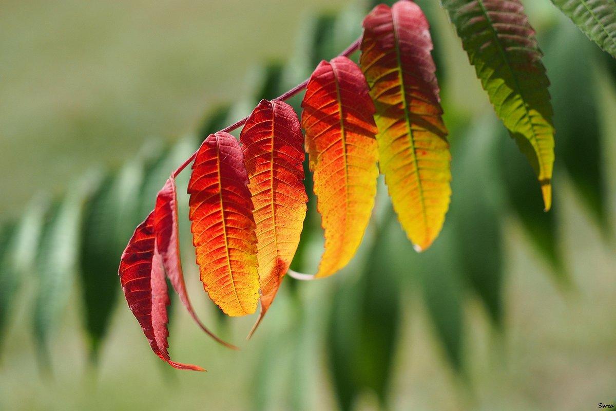 Краски осеннего сада - Swetlana V