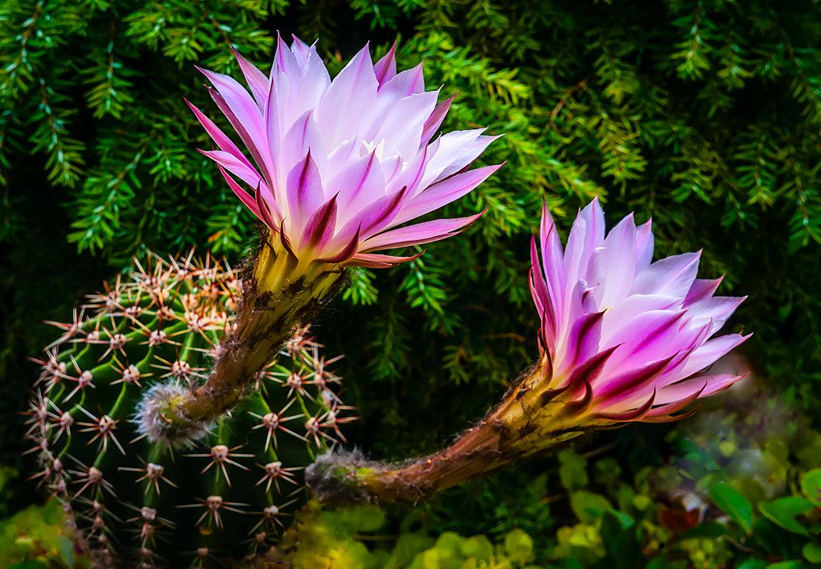 Цветение кактуса - Vsevolod Boicenka