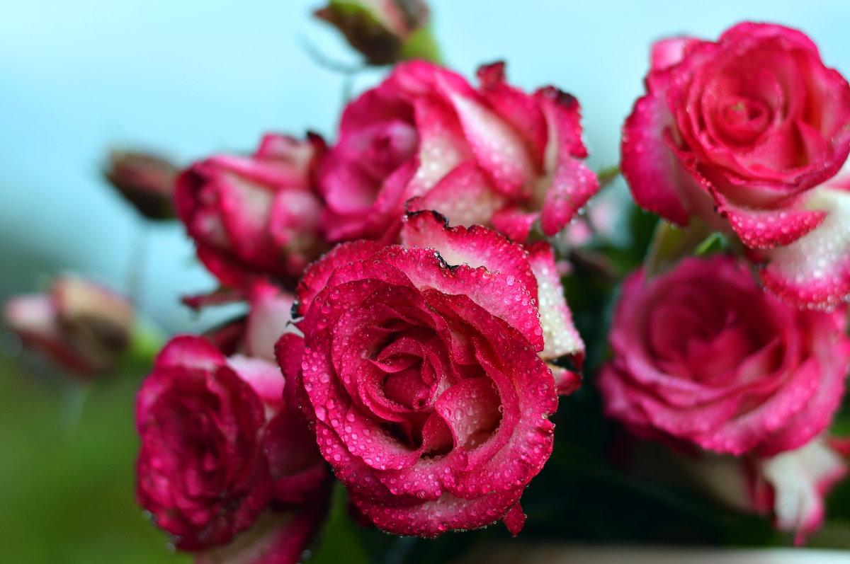 Розы в моем саду - Олеся
