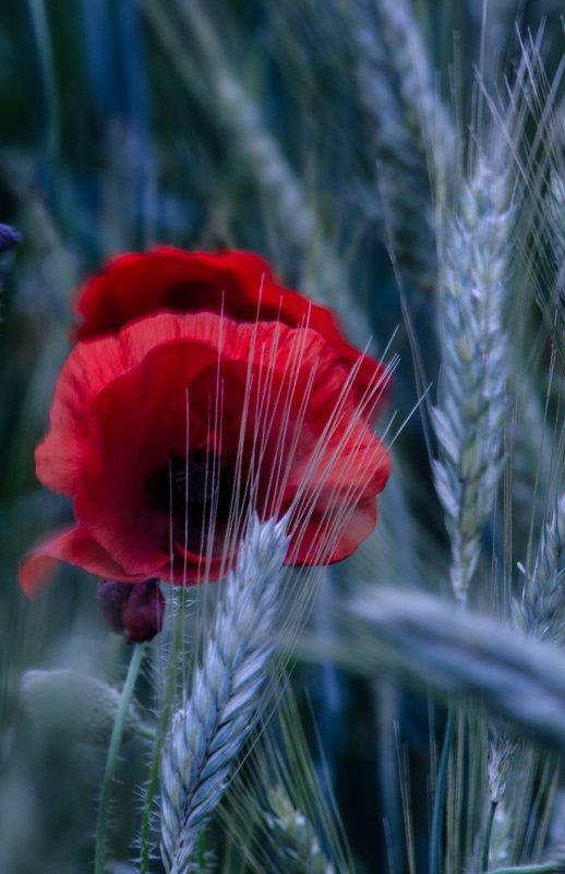 cveti - Anatol Stykan