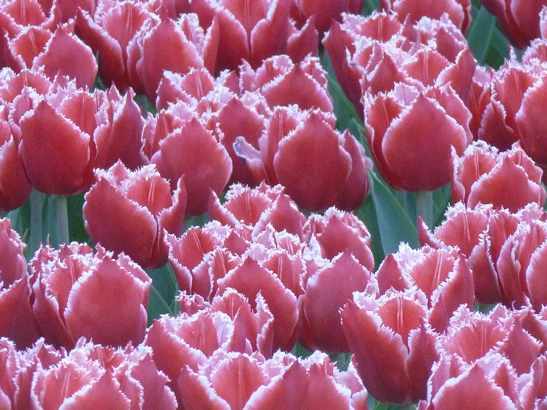 тюльпаны - Taina
