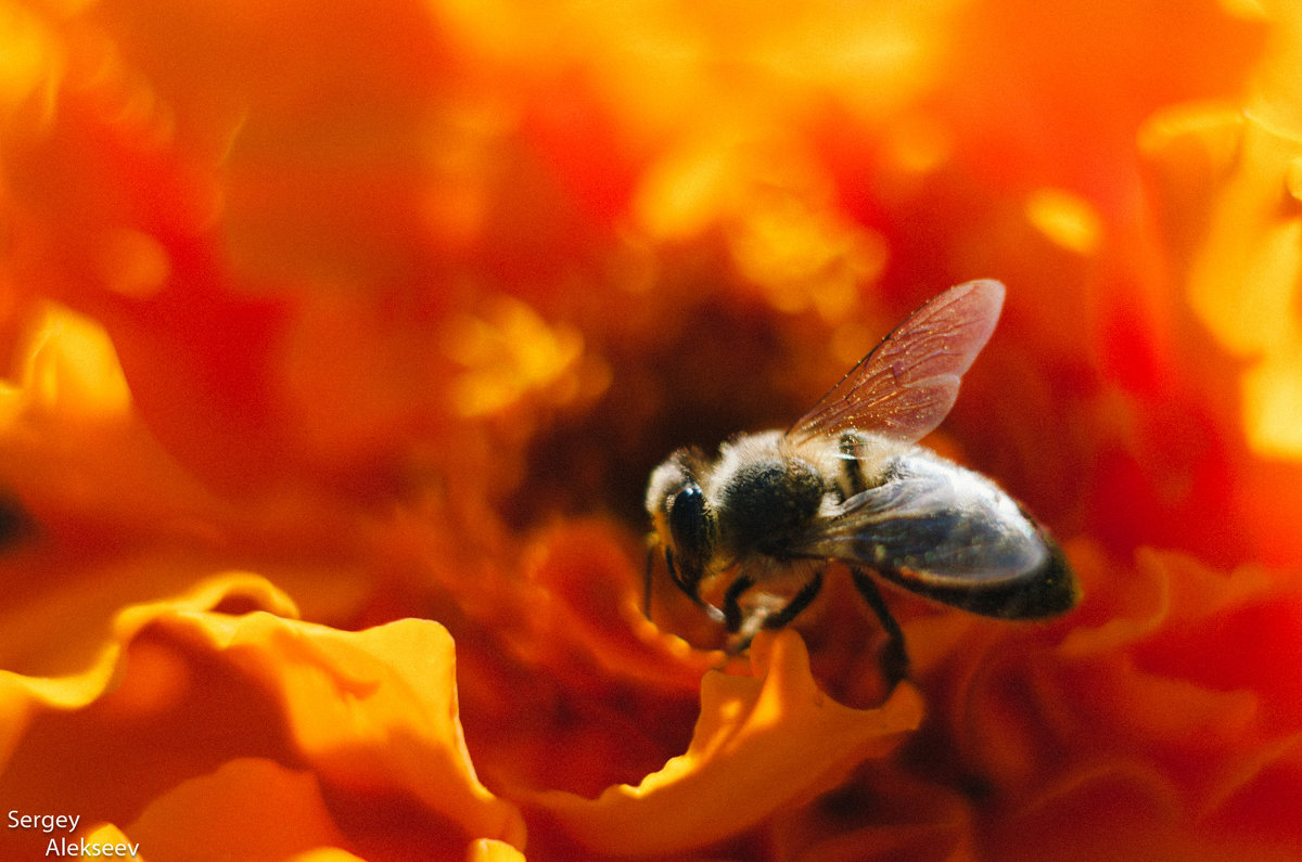 Пчелка опыляет цветок - Сергей Алексеев