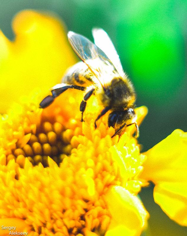 Пчелка в работе) - Сергей Алексеев