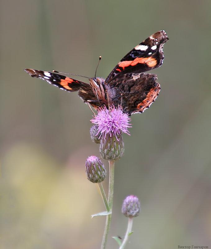 бабочка - Laryan1