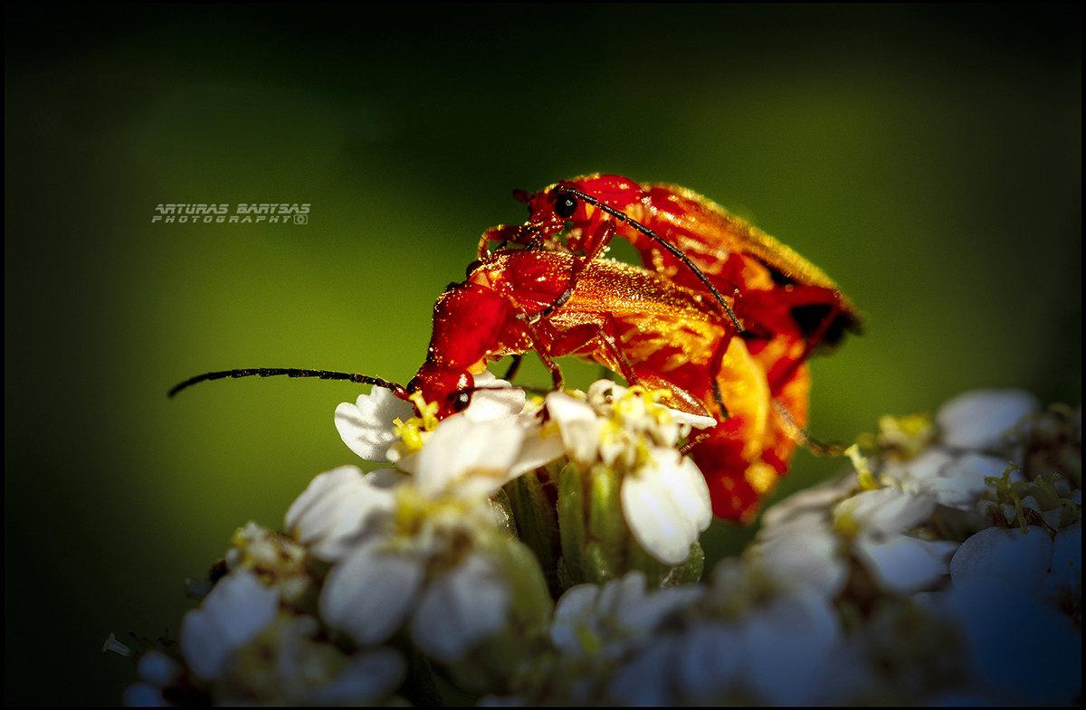 Любовь двоем,на цветке. - Arturas Barysas