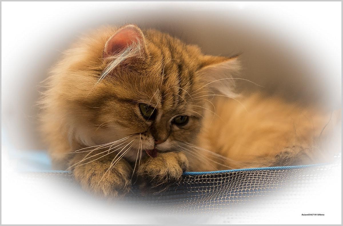 Всё та же Шиншилла2-из серии Кошки очарование мое! - Shmual Hava Retro