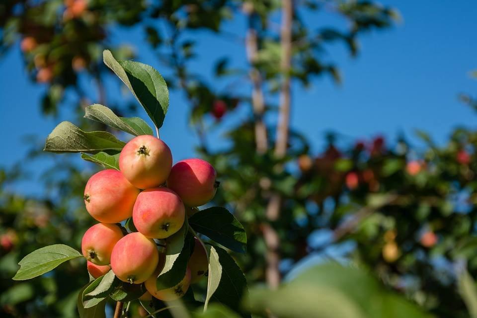 яблоки сибирские - Сергей Анисимов