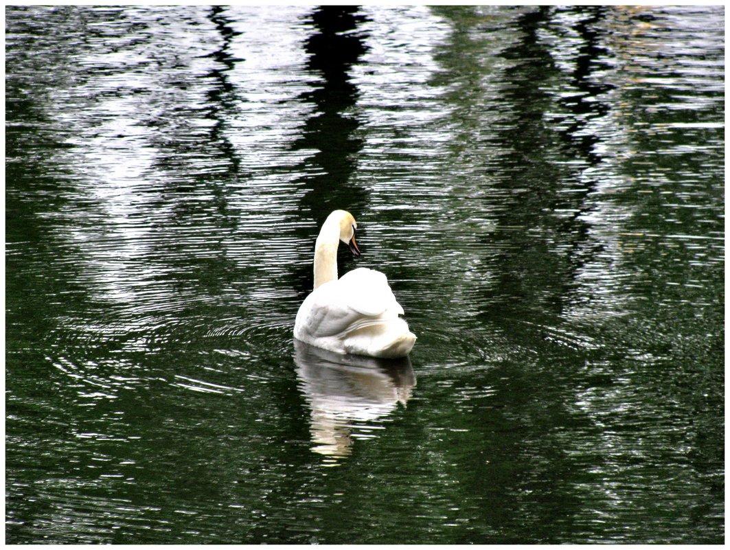 Белый лебедь на пруду - Наталья