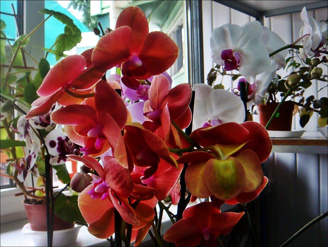 Орхидея - Нина Корешкова
