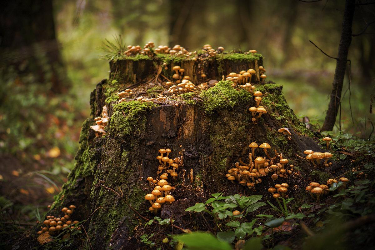 Пень с грибами - Алексей Строганов