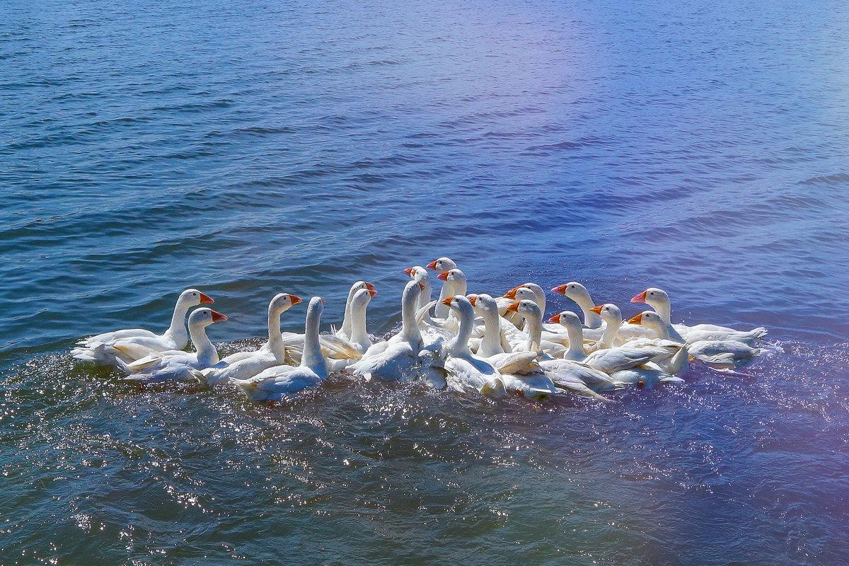 Белые гуси - Таня Харитонова