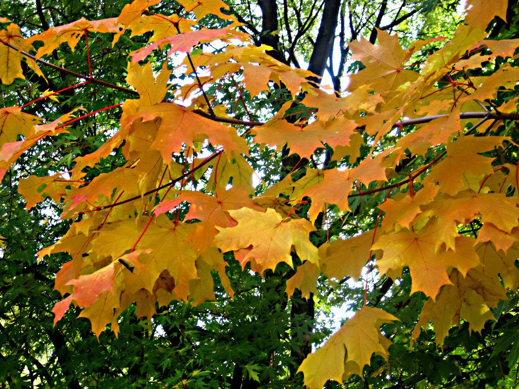 Кленовые листья кружат - Елена Семигина
