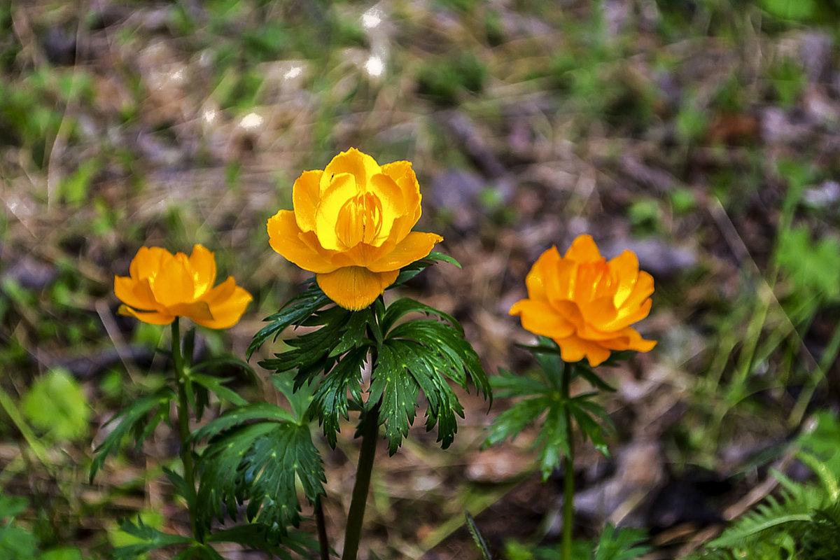 Своенравные цветы - жарки. - юрий Амосов