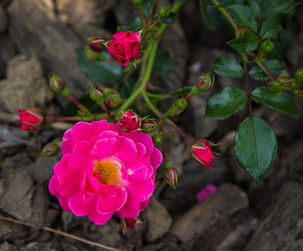 «…Любима роза, без сомненья, Природы дивное творенье…» - Андрей Нибылица