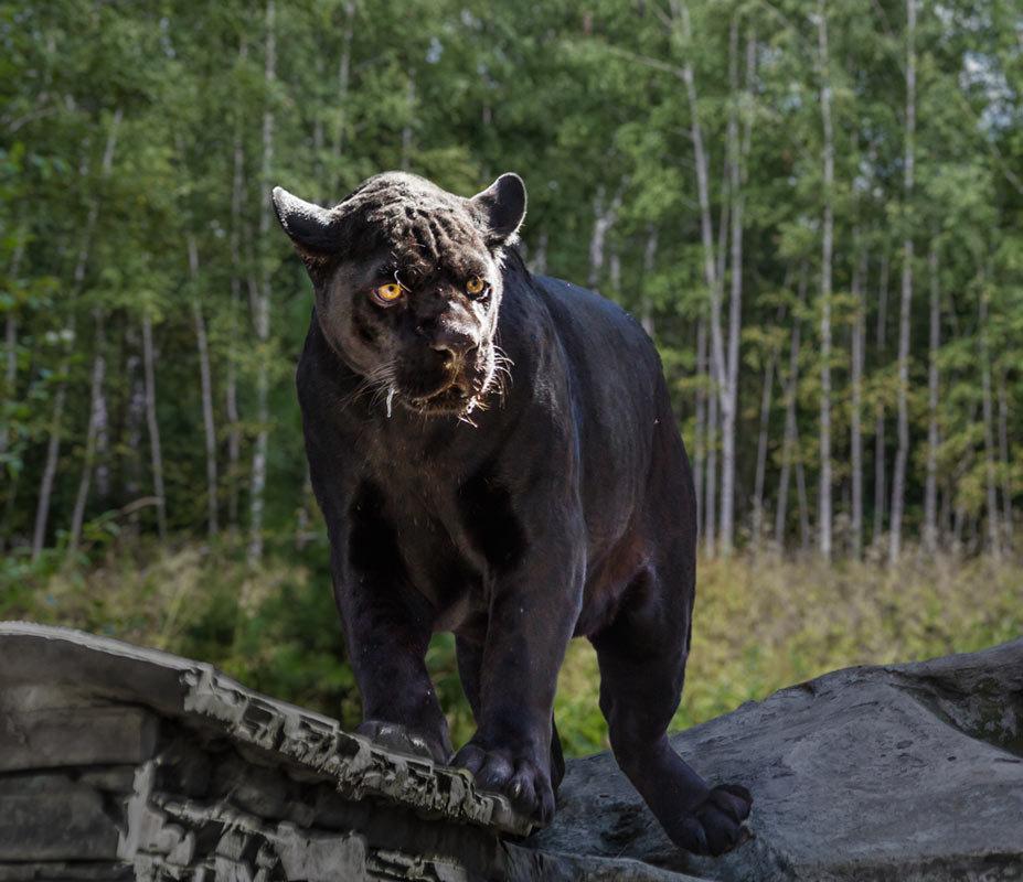 Чёрный ягуар - Nn semonov_nn