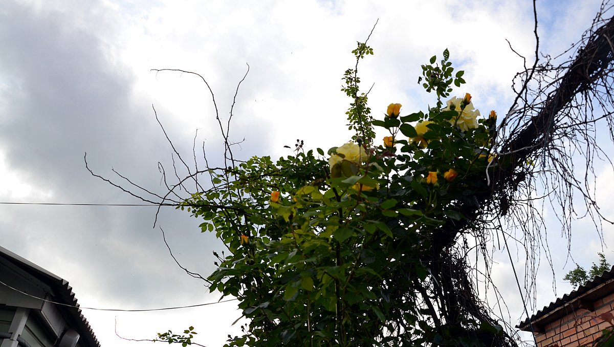 Роза-вьюшка - Владимир Болдырев