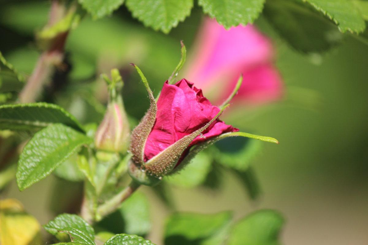 Бутон дикой розы - Виталий  Селиванов