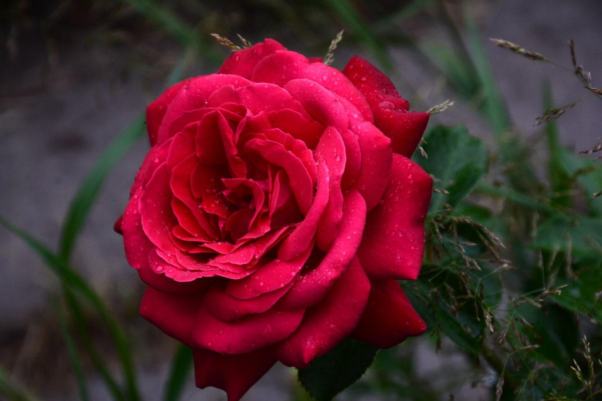 Роза летнего вечера... - Виктор Бусель