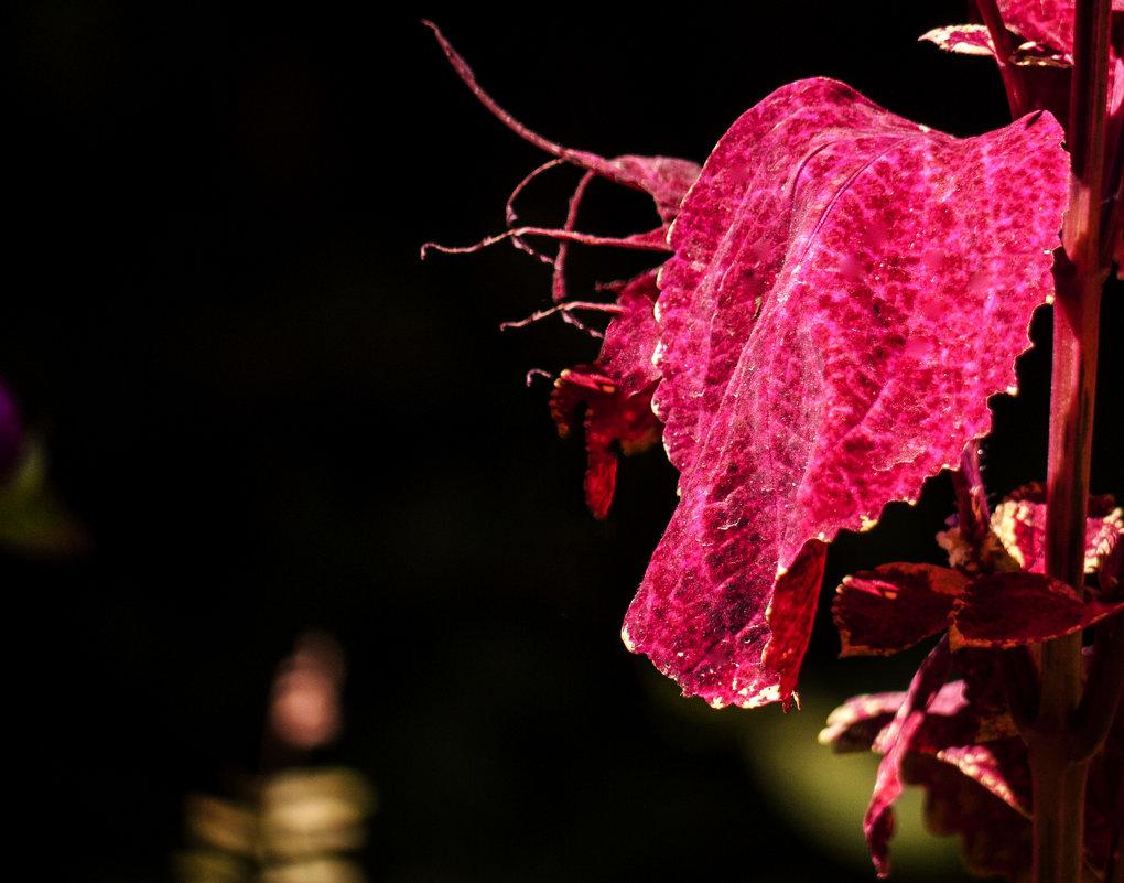 Лист пурпурного цвета. - Alla