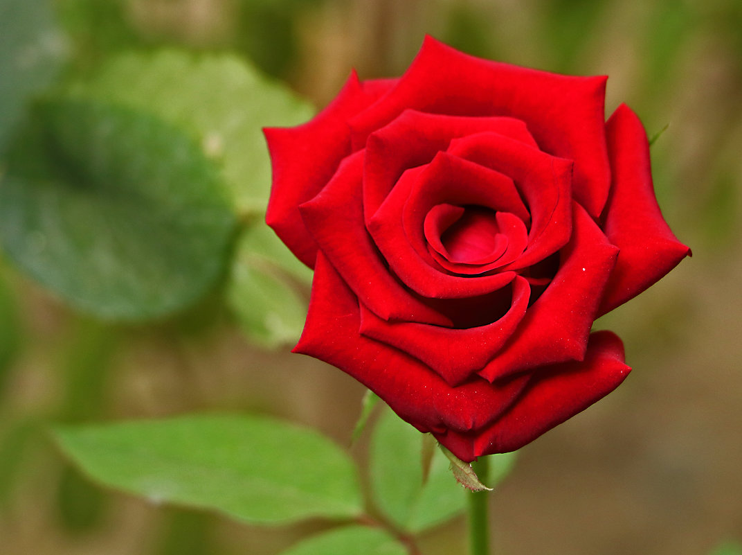 Осенняя роза - Светлана