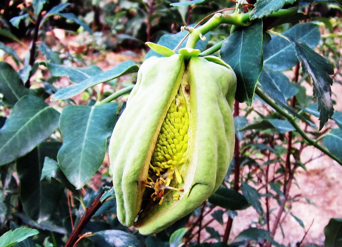 Экзотический плод - татьяна