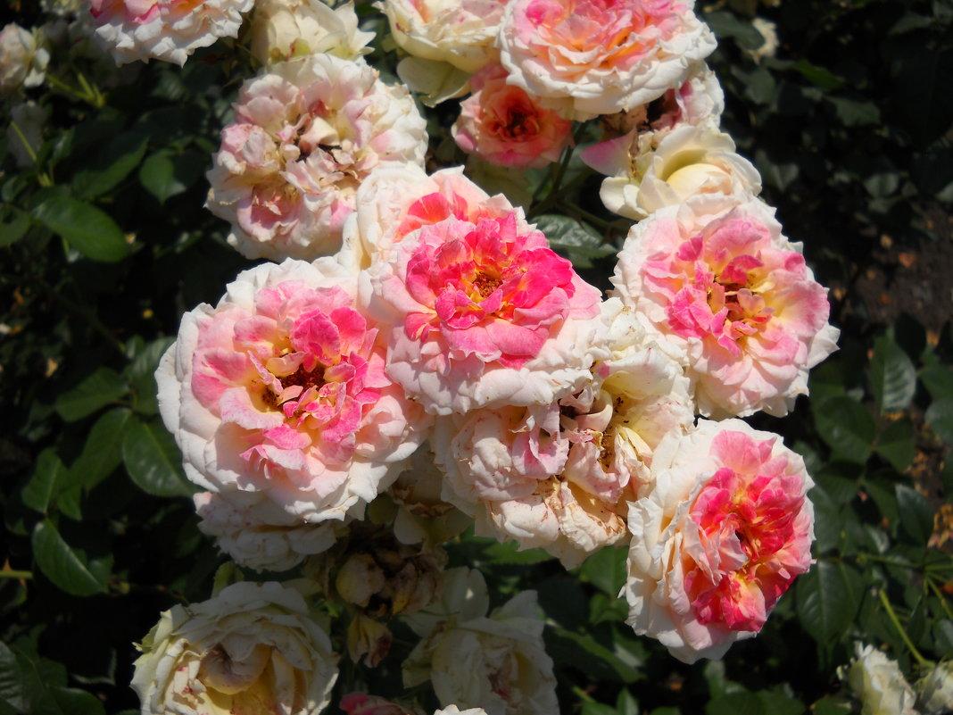 Розы - Victoria