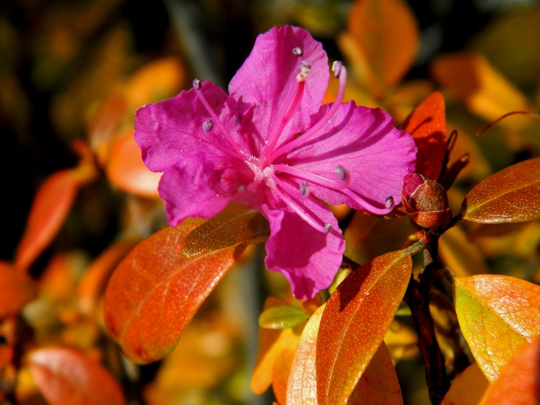 рододендрон даурский осенью - Анна