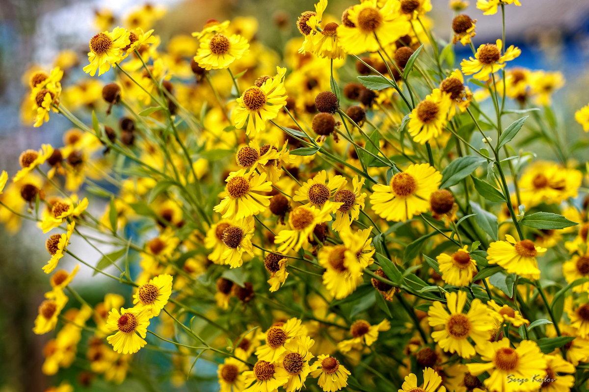 Осенние цветы - Сергей Козлов