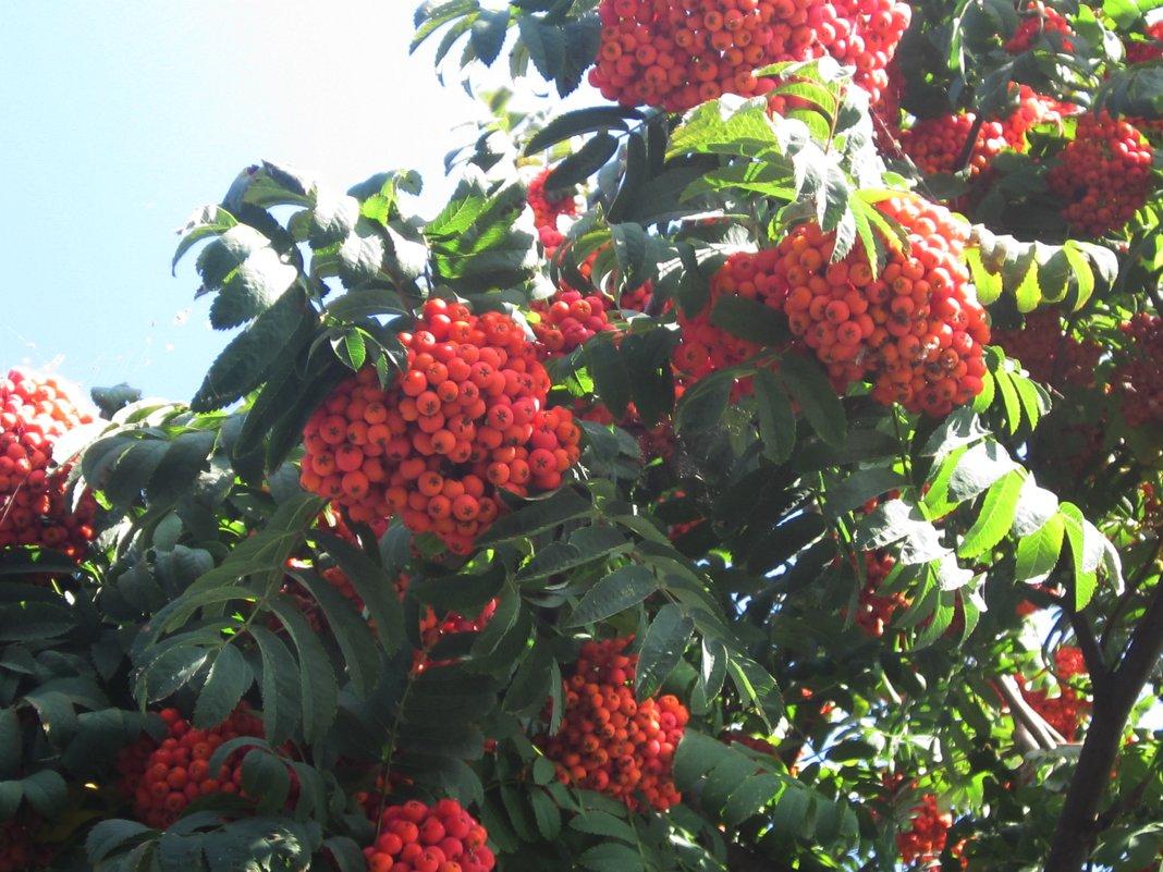 Чарующий стан в убранстве оранжево-красных гроздей - Надежда