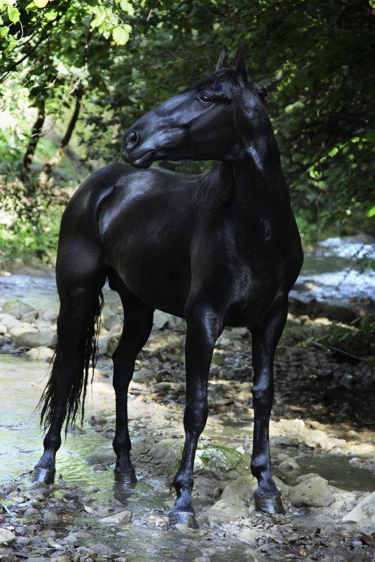 Гнедой конь Карачаевской породы - Ольга Гудым