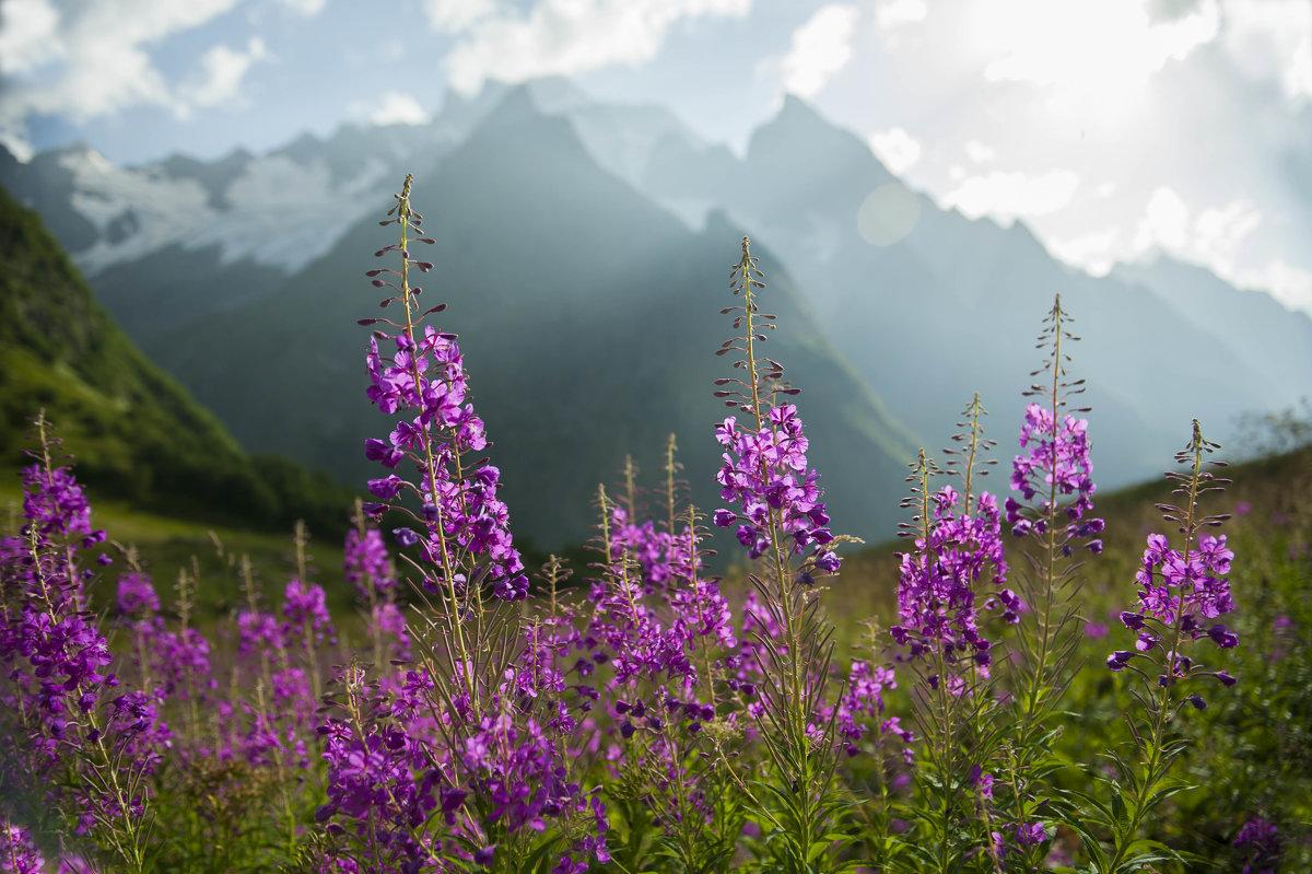 Иван-чай - Царь альпийских лугов - Евгений Khripp