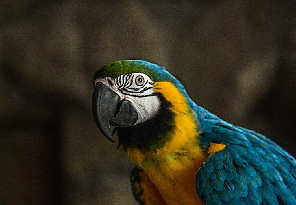 говорящий попугай Кеша - alex graf