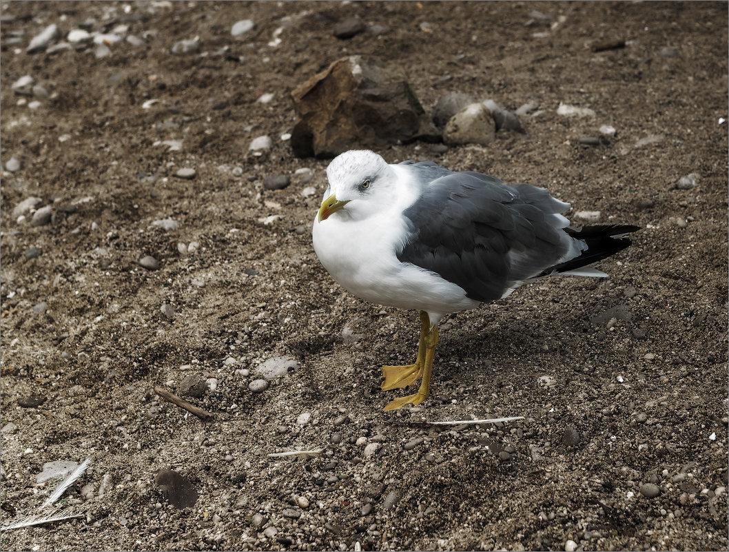 Ходит чайка по песку - рыбакам сулит тоску - Shapiro Svetlana