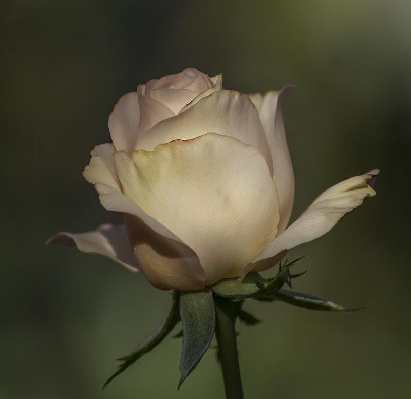 Кремовая роза. - Людмила Костюченко