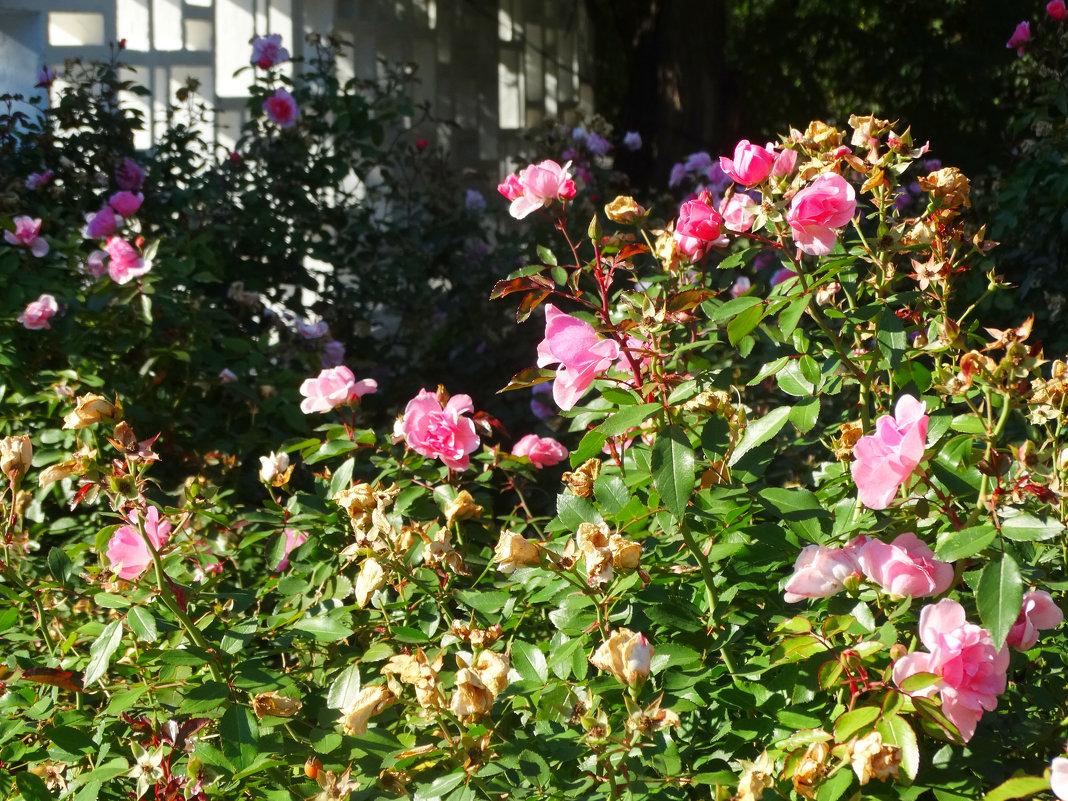 Розы в осеннем парке... - Тамара (st.tamara)