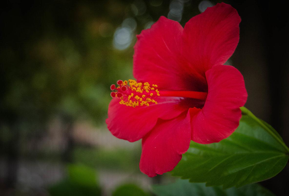 китайская роза - олеся тронько