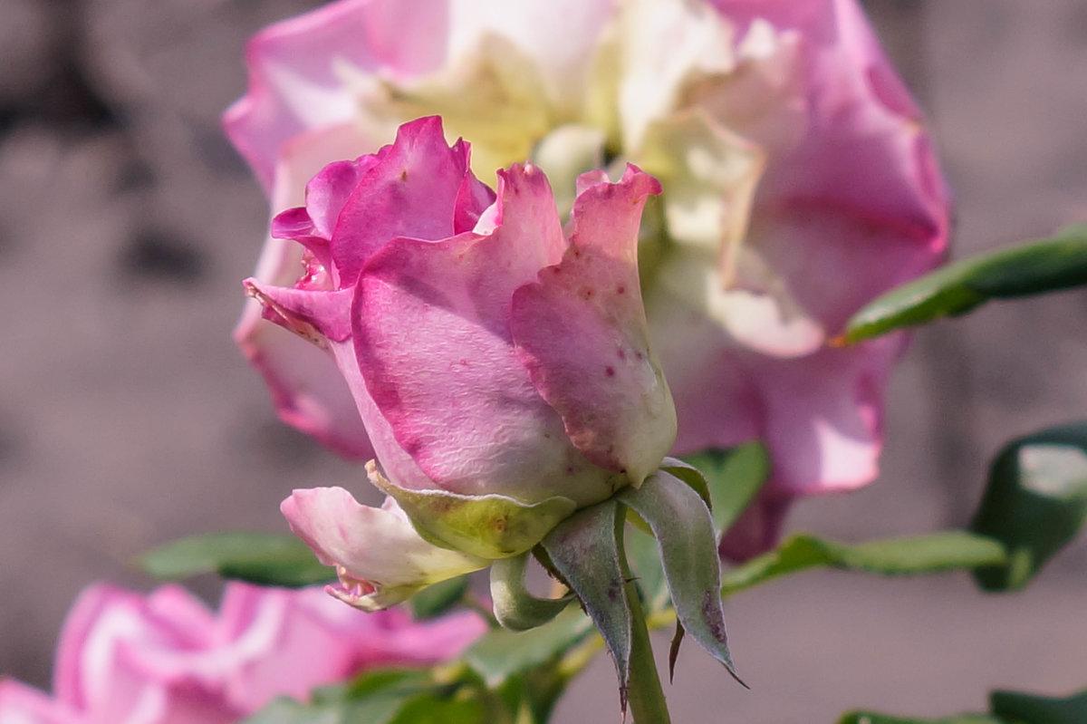Роза - Анжелина Пилихосова