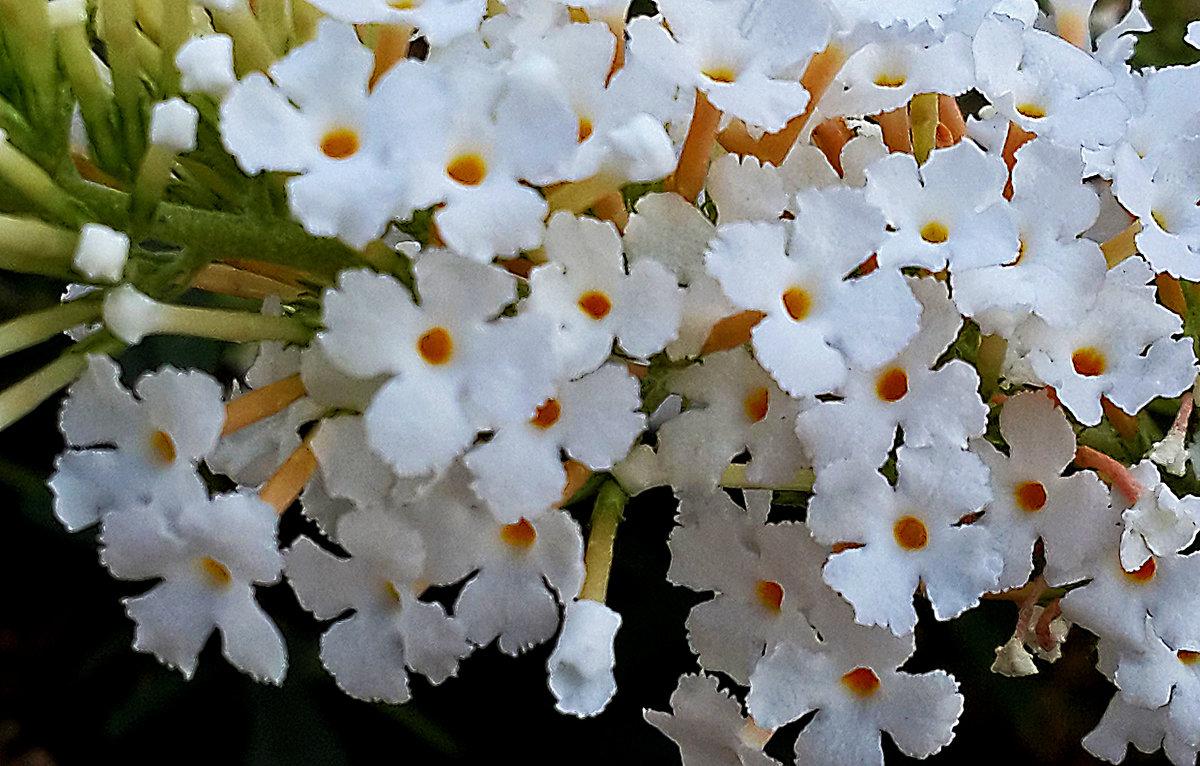 Белая буддлея - Светлана