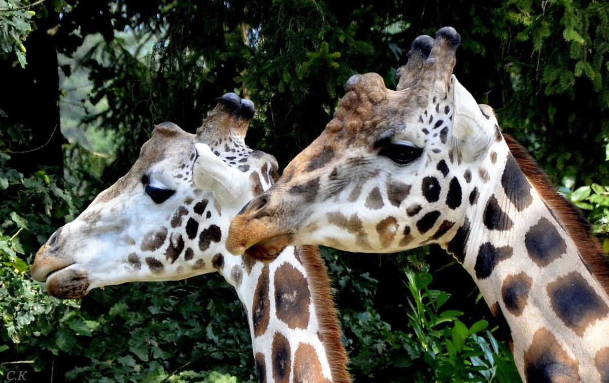 жирафы - Сергей Короленко