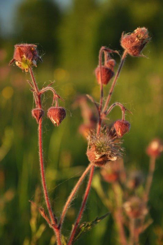 полевые цветы - Galina G