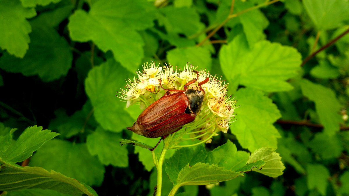 майский жук за трапезой - Александр Прокудин