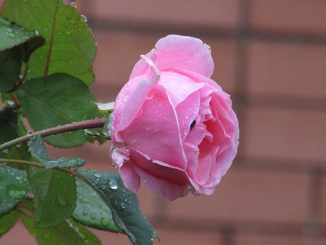 Серия розы под дождём. - Вячеслав Медведев