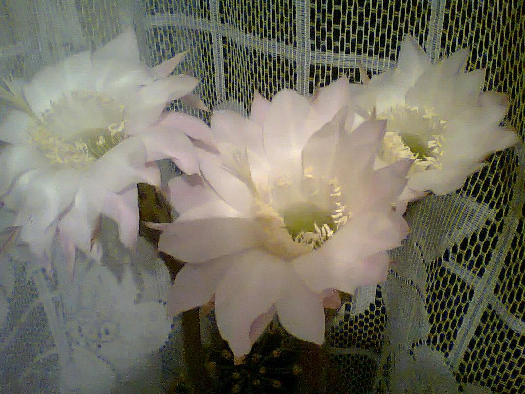 цветение - Лара