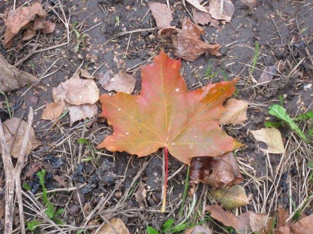 Рыжий лист кленовый - Дмитрий Никитин
