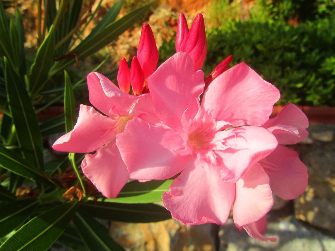 цветы Турции - tgtyjdrf
